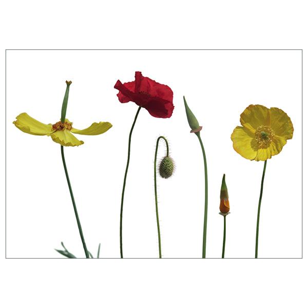 Postkarte 'Poppies'