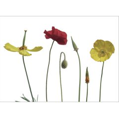 Postkarte 'Poppies'