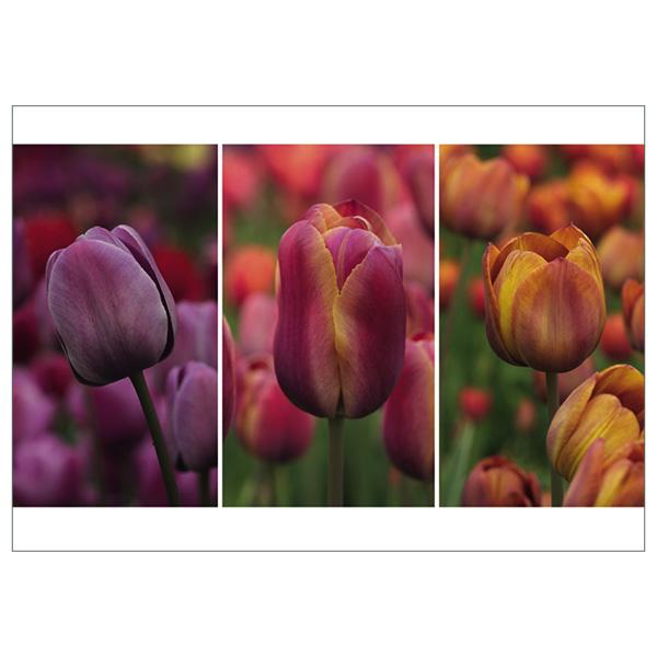 "Postkarte ""Breeder Tulpen"""