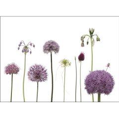 "Postkarte ""Alliumblüten"""