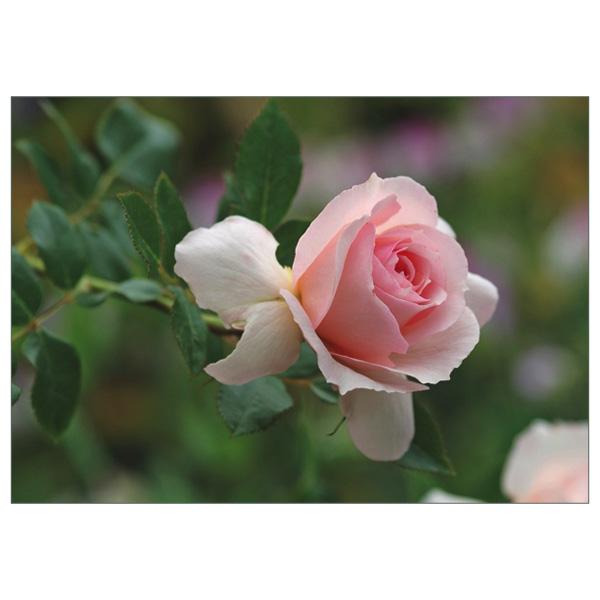 """Postkarte """"Rose Schloss Eutin"""""""