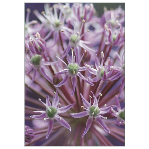 "Postkarte ""Alliumsterne"""