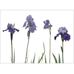 Postkarte 'Blaue Iris'