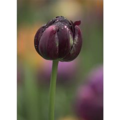 "Postkarte ""Tulipa Black Hero"""