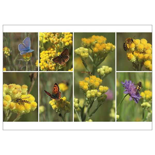 """Postkarte """"Helichrysum"""""""