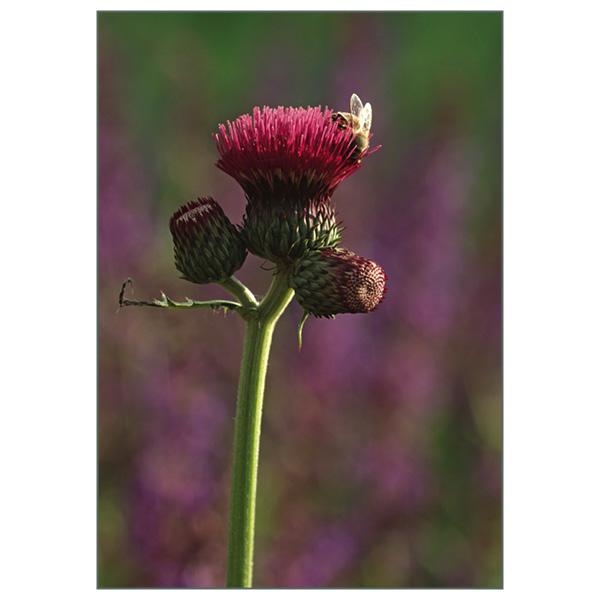 Postkarte 'Cirsium'