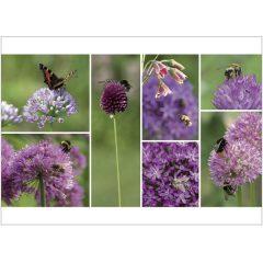 "Postkarte ""Insektenweide Allium"""