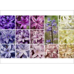 "Postkarte ""Hyacinthus"""
