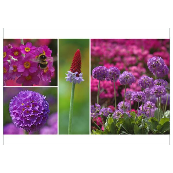"""Postkarte """"Primula"""""""