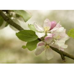 """Postkarte """"Apfelblüte"""""""