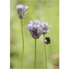 """Postkarte """"Allium caesium"""""""