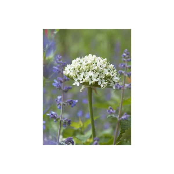 """Minikarte """"Allium nigrum"""""""