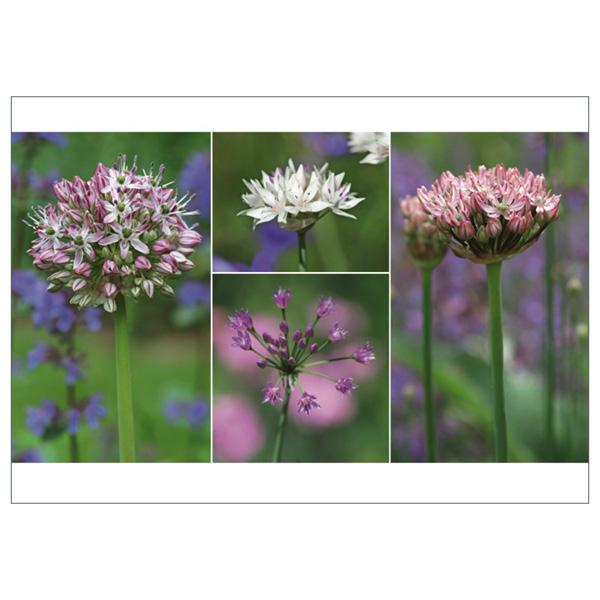 """Postkarte """"Rosa Allium"""""""