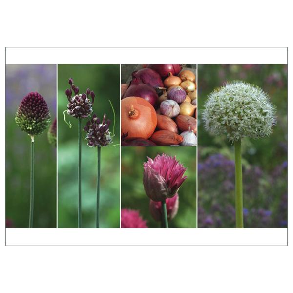 "Postkarte ""Essbare Allium"""