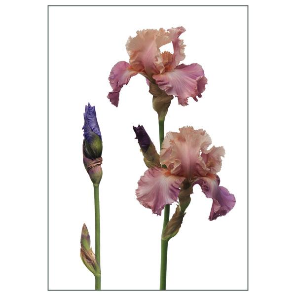 Postkarte 'Iris barbata'