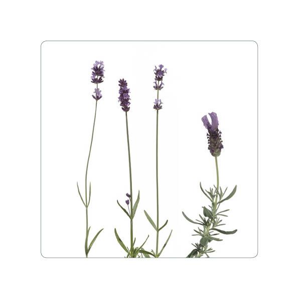 """Magnet """"Lavendel"""""""